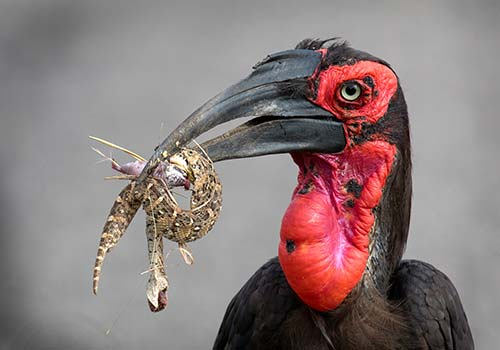 Ground-Hornbill-with-puffy-Web-T20