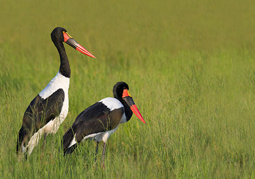 Stork-Saddle-billed-Web-2021